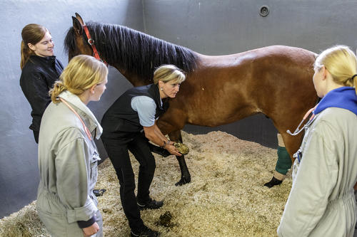 In the practical part of the degree program, the students work closely with horses.