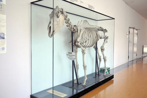 The skeleton of Condé, King Friedrich II's favorite horse, is on display in the Institute for Veterinary Anatomy of Freie Universität.