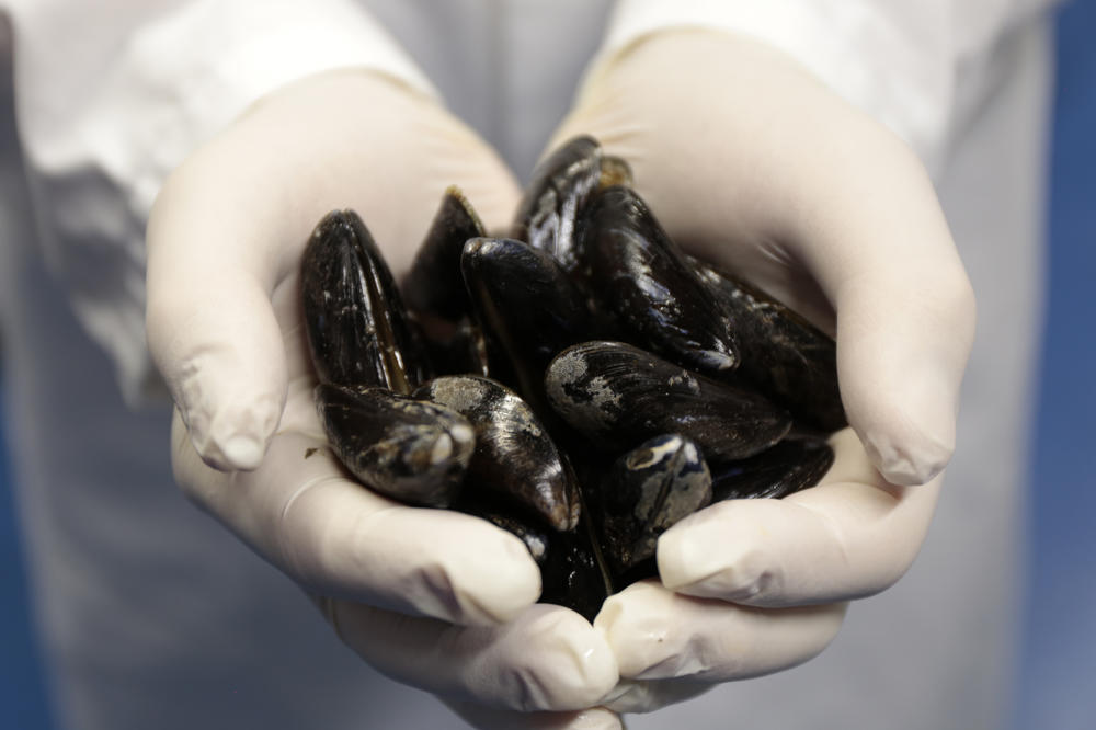 The glue produced by mussels serves as a model for a biogenic adhesive which, it is hoped, will be able to bind together skin, tissue, and even bone.